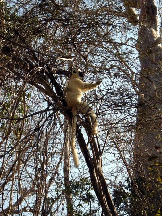 Sifaka malý Verrauxův (Propithecus verreauxi verreauxi), N.P. Kirind, Madagaskar