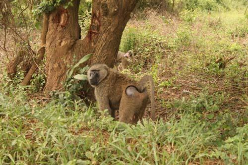 Anubi - Papio anubis (foto: Uganda; Michal Šváb)
