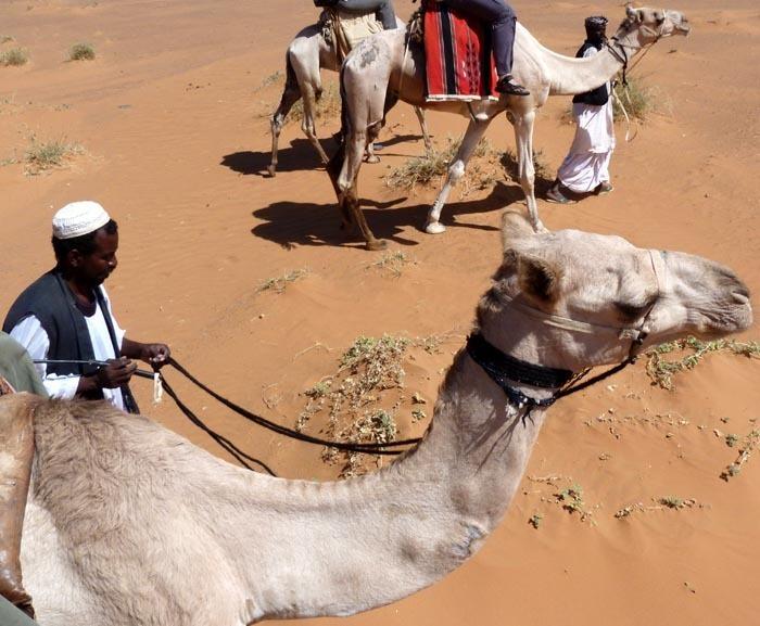 Velbloud jednohrbý (Camelus dromedarius)