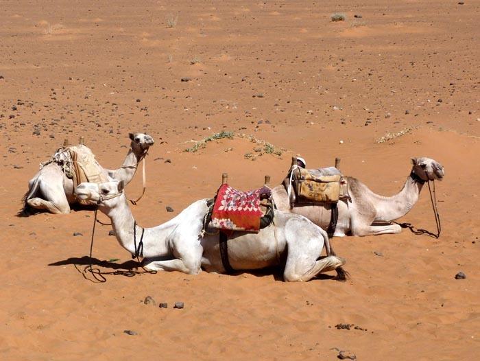 Velbloud jednohrbý (Camelus dromedarius) - sedlo