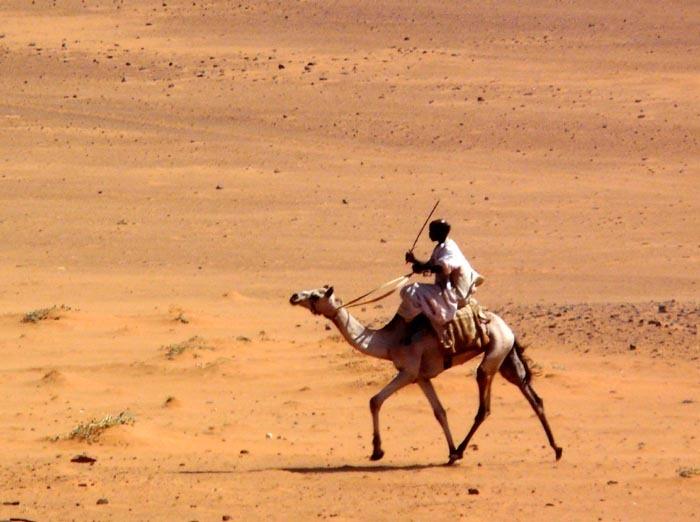 Velbloud jednohrbý (Camelus dromedarius), Súdán
