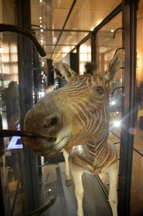 Zebra kvaga (Equus quagga quagga)
