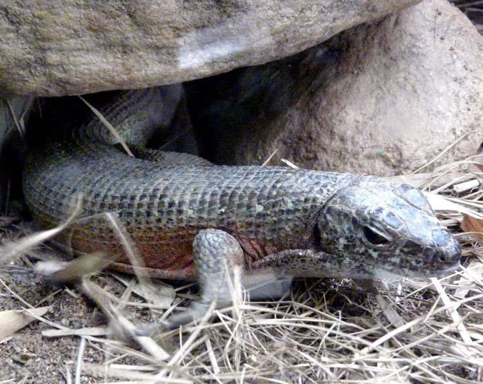 Ještěrkovec (Zonosaurus maximus)