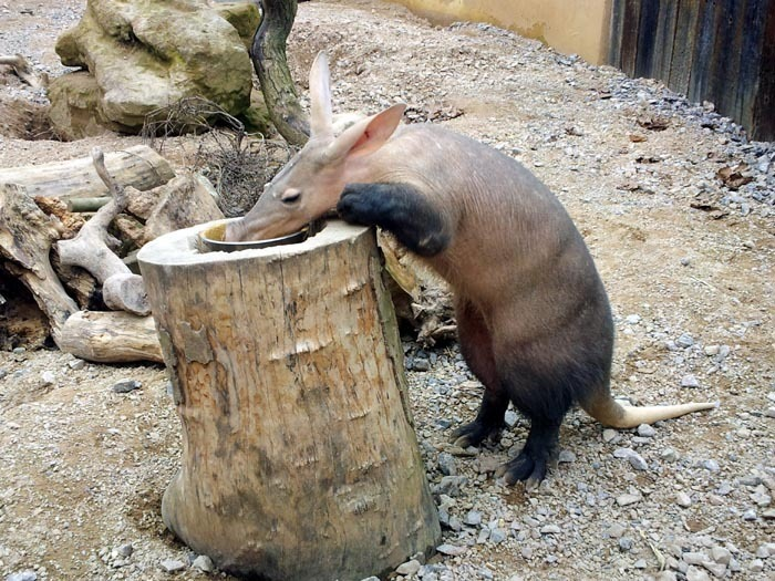 Hrabáč kapský (Orycteropus afer), aardvark