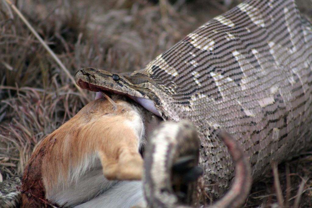 alex griffiths: krajta pojídá antilopu
