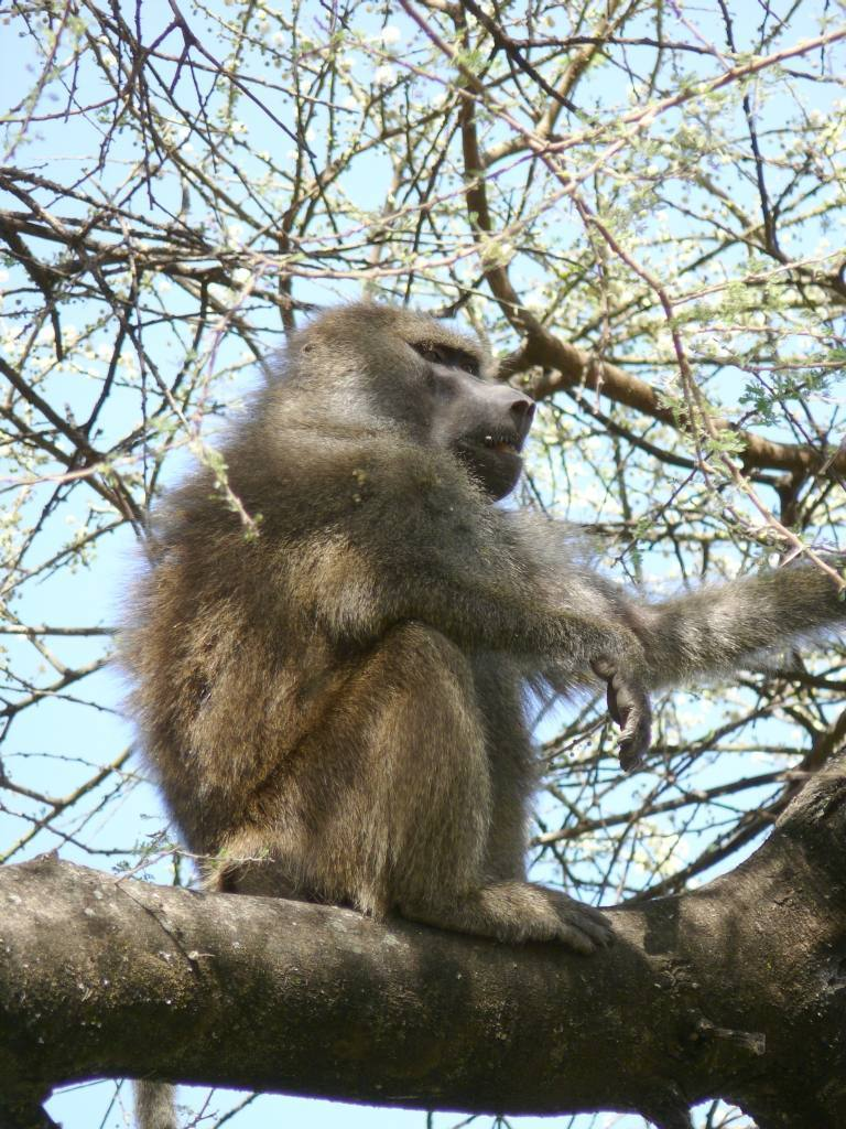Pavián babuin - samec na hlídce  (foto: Tanzania, Pavel Kohout)