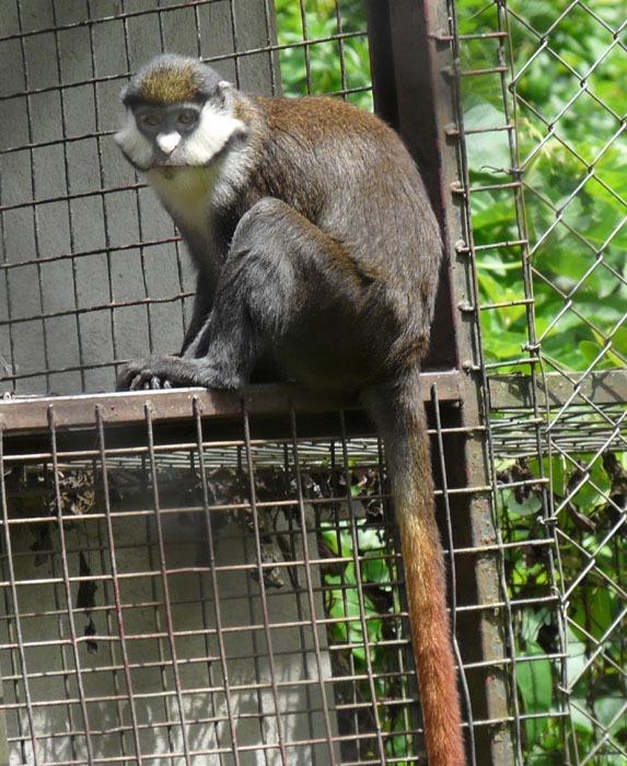Kočkodan černolící (Cercopithecus ascanius)