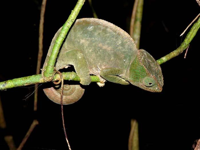 Chameleón Parsonův (Calumma parsonii)
