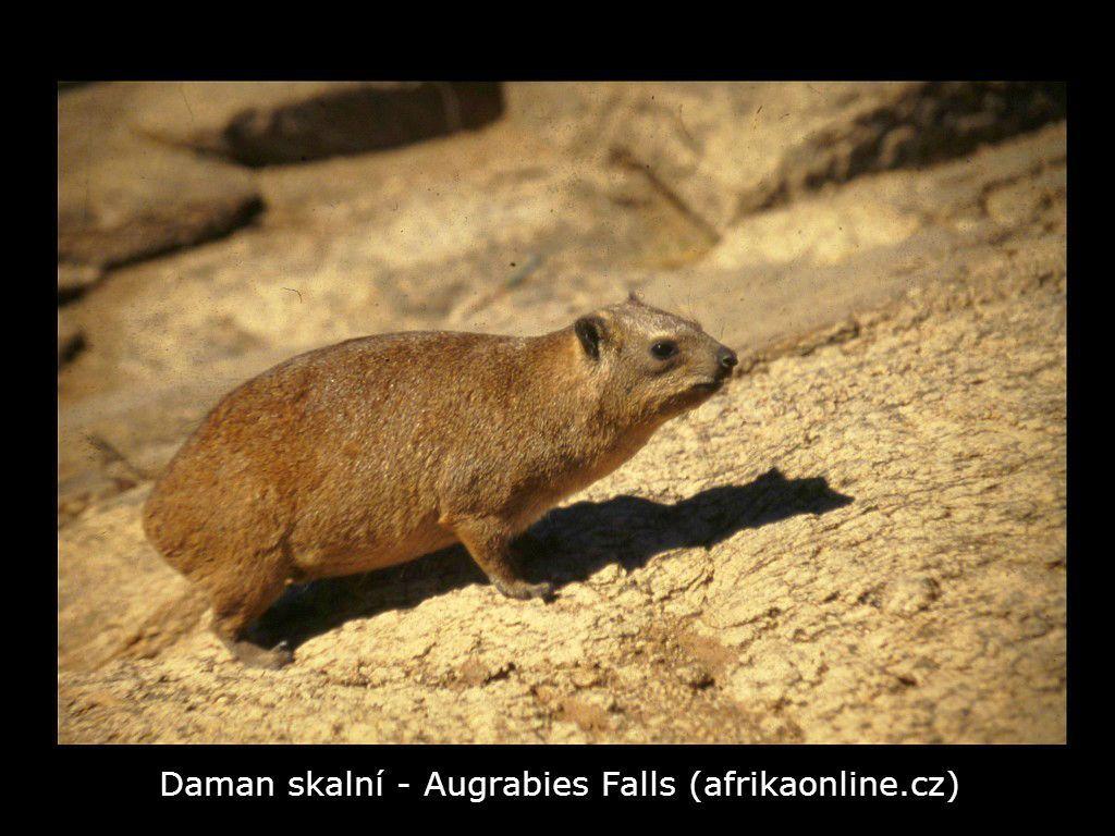 daman skalní (Procavia capensis)