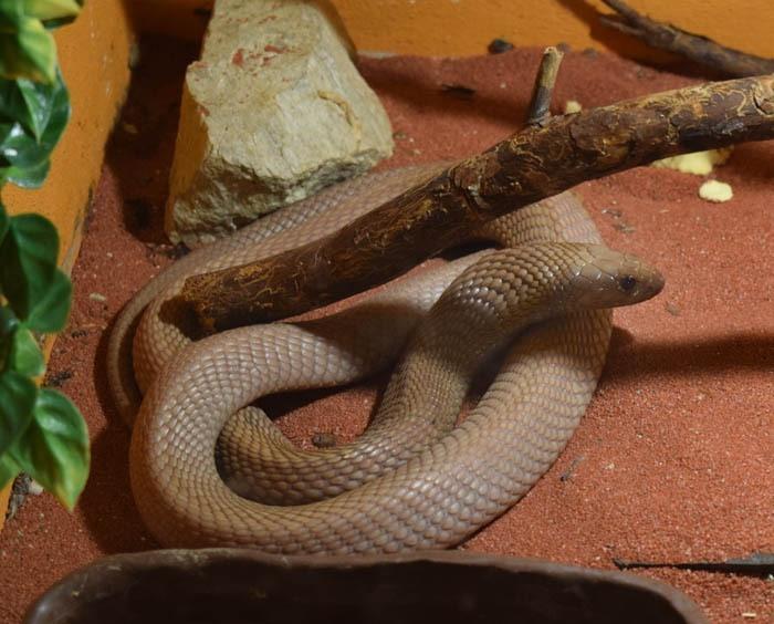 Kobra egyptská marocká