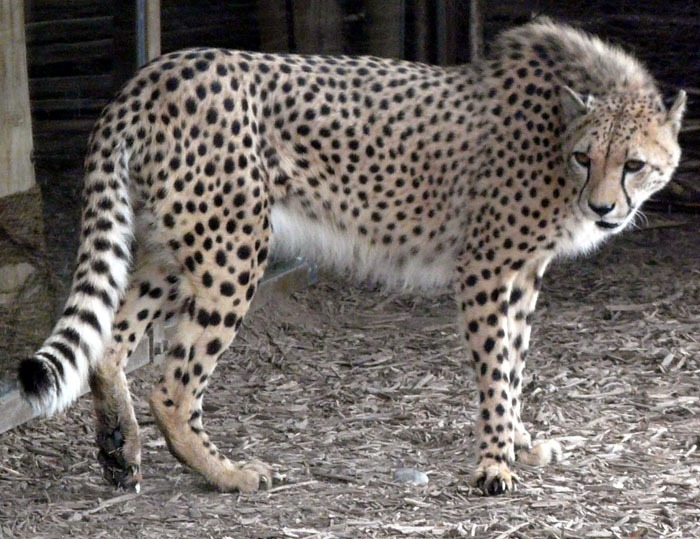 Gepard kapský (Acinonyx jubatus jubatus)