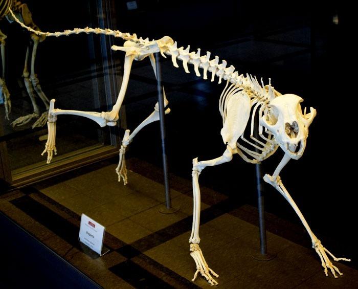 Kostra geparda v muzeu v Římě