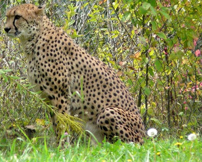 Gepard súdánský (Acinonyx jubatus soemmeringii)