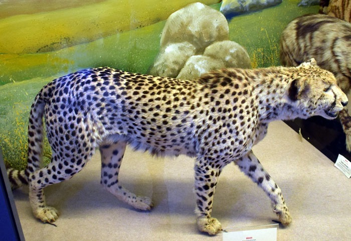 Gepard severoafrický (Acinonyx jubatus hecki)