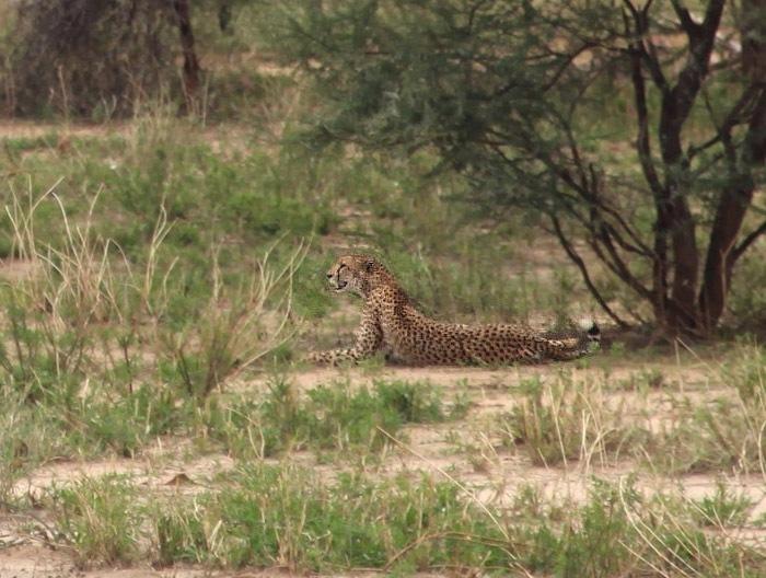 Gepard východoafrický (Acinonyx jubatus raineyi), NP Masai Mara
