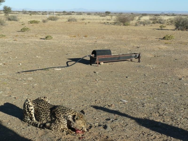 Gepard štíhlý (Acinonyx jubatus) jako mazlíček, foto: Martina Novotná
