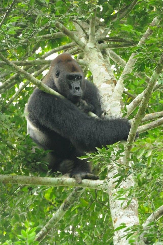 Gorila nížinná (Gorilla gorilla), Arthur Sniegon