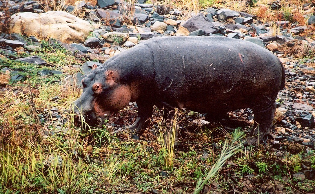 Hroch obojživelný (Hippopotamus amphibius), Kruger N.P, JAR (foto: Jaromír Němec)
