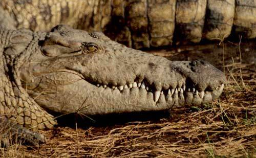 krokodýl nilský