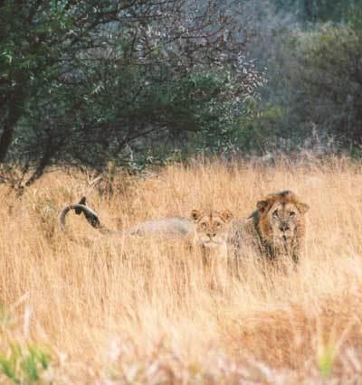 Lev a lvice (Kruger N.P., JAR)
