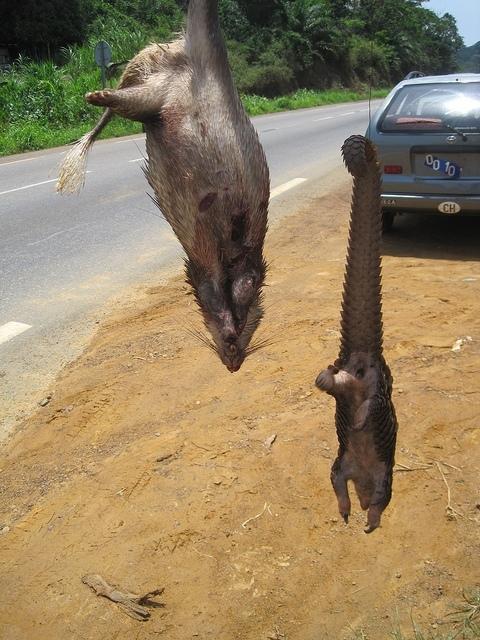 luskoun dlouhoocasý (Manis tetradactyla) - prodej bushmeat u silnice v Kamerunu (autor: Joel Abroad )