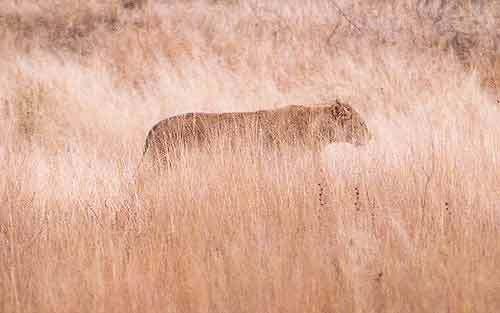 Lvice (Kruger N.P., JAR)