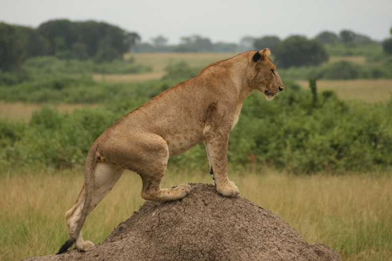 Lvice na termitišti (Uganda)