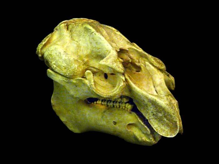 Lebka kapustňáka
