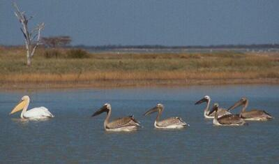 Mladí pelikáni (Sowa Pan, Botswana)