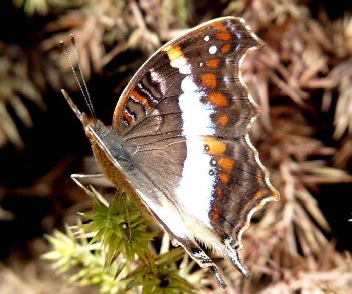 motýl v ZOO Tsimbazaza, Madagaskar
