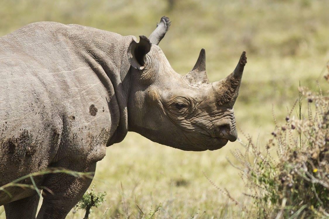 Nosorožec dvourohý (Diceros bicornis), Keňa, autor: Jana Hajduchová