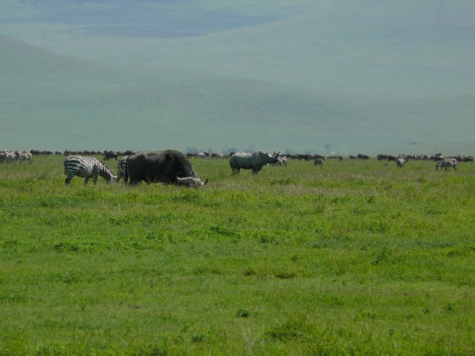 nosorožec dvourohý východní (Diceros bicornis michaeli), Ngorongoro, Tanzanie (foto: Pavel Kohout)