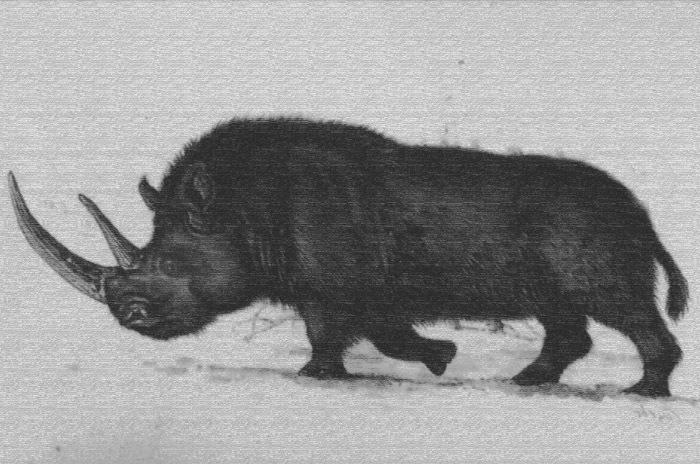 Kresba nosorožce srstnatého (Coelodonta antiquitatis)