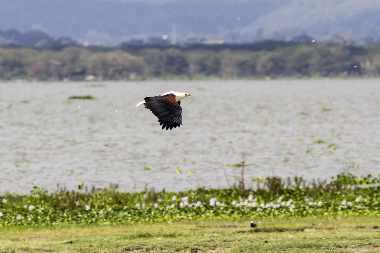 Orel jasnohlasý (Haliaeetus vocifer), autor: Jana Hajduchová