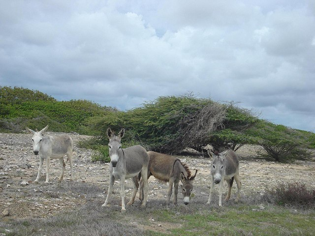 Osel núbijský (Equus africanus africanus); Autor: Serge Melki
