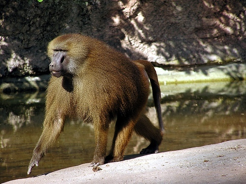Pavián guinejský (Papio papio)