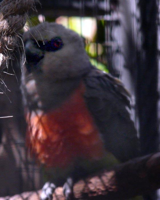 papoušek červenobřichý samička