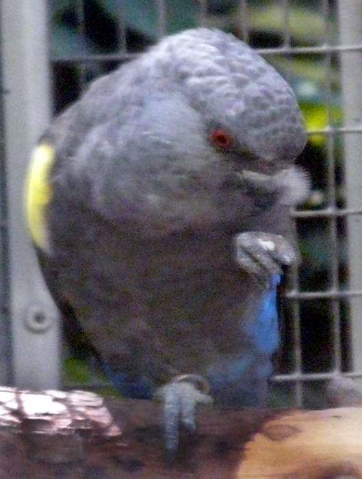 papoušek hnědý - samička