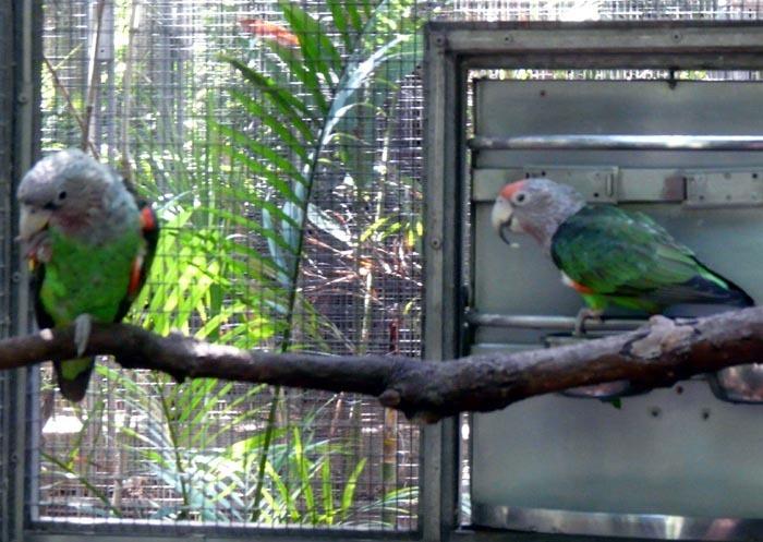 papoušek kapský mosambický