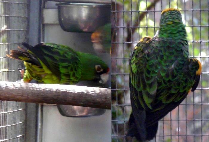 papoušek konžský