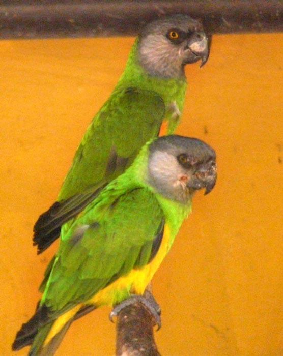 pár papoušků senegalských