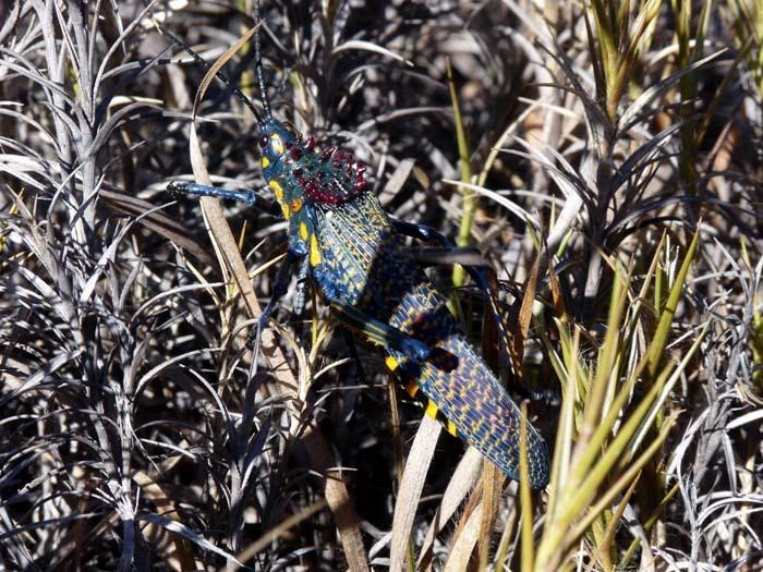 Pasaranče (Rainbow Milkweed Locust (Phymateus saxosus))