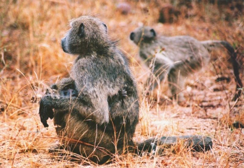 Pavián čakma (Papio ursinus) - samice s mládětem (foto: Jaromír Němec)