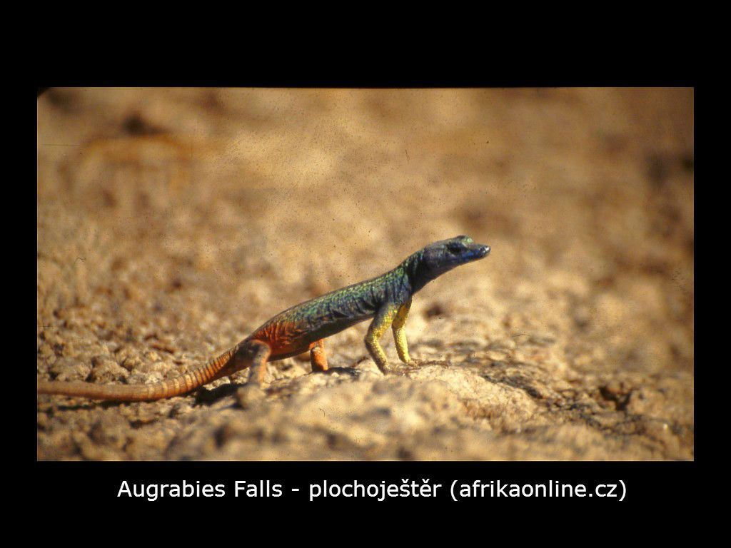 plochoještěr (Platysaurus broadleyi)