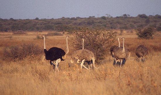 Pštros dvouprstý (Botswana)