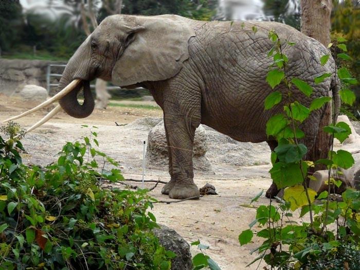 slon pralesní (Loxodonta cycloctis)