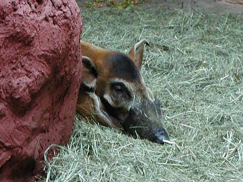 Štětkoun africký (Potamochoerus porcus)