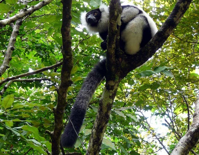 Vari černobílý (Varecia variegata) Tamatave, Madagaskar