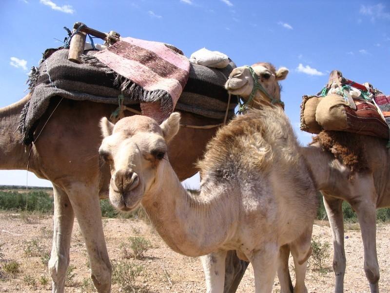 Velbloud jednohrbý (Camelus dromedarius) - Linda Kalašová