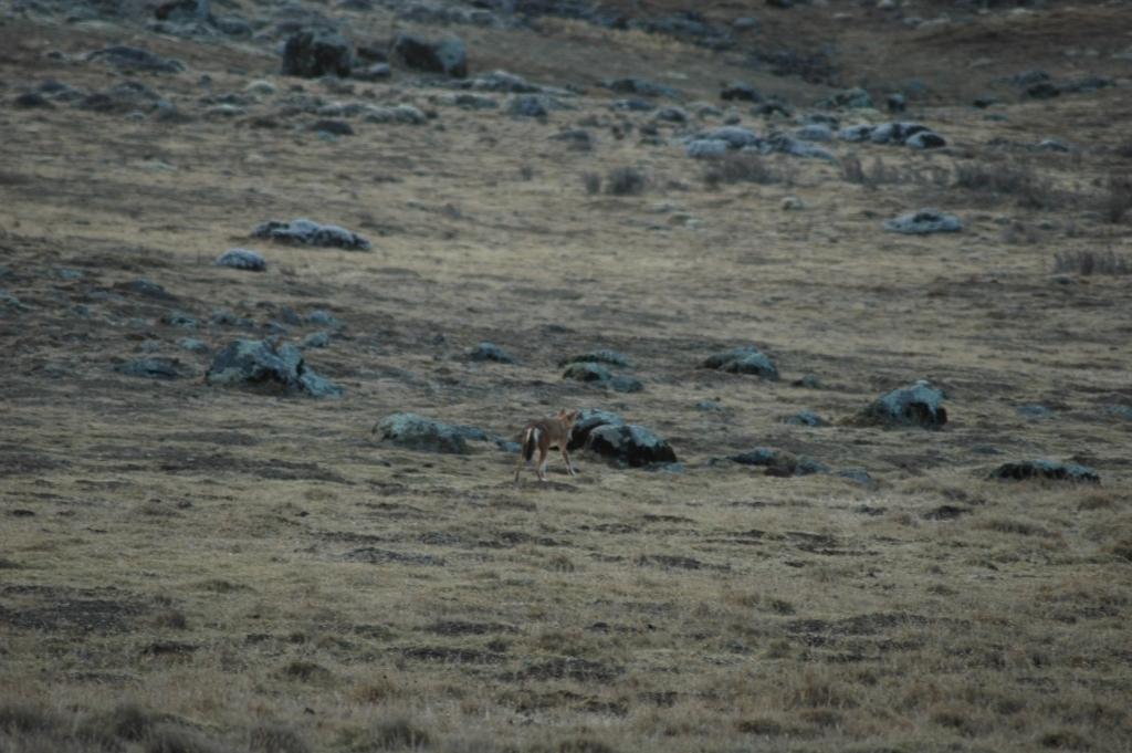 Vlček etiopský (Canis simensis) Bale, Etiopie